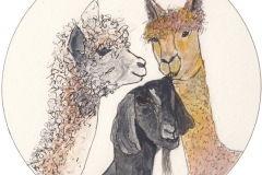 W-Alpacas-Black-Nubil