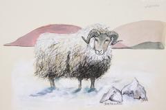 cw-icelandic-sheep