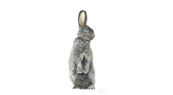 Silver Fox Rabbit