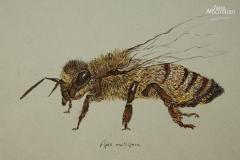 Fauna-GIMG_4420-HoneyBee