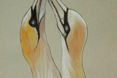 Fauna-GIMG_4421-Gannet
