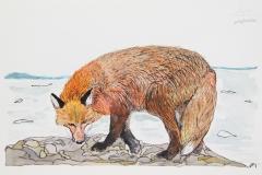 c-Fox